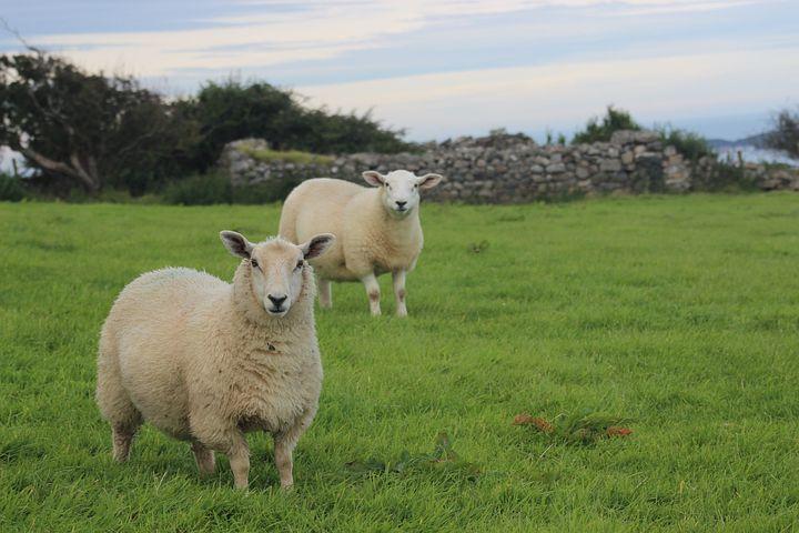 Diebesduo stiehlt Kamerun-Schafe in Wenden