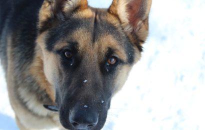 Hund schlug Räuber in die Flucht